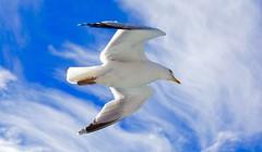 Bird in the sky. (ost_jean) Tags: nikon d5200 tamron sp af 1750mm f28 xr di ii vc ld aspherical if b005n meeuw bird vogel ostjean gull hemel sky blue lucht wolken seagull fly animal nature