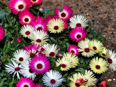 019 Mezerbyanthiums (saxonfenken) Tags: flower multicolour many vibrant pregamewinner 6656flower 6656