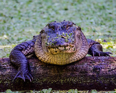Americian Alligator (dbking2162) Tags: swamp corkscrewswamp nature wildlife animal alligator green gator florida outside big