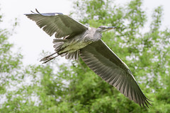 Heron (Shane Jones) Tags: heron bird birdinflight wildlife nature nikon d500 200400vr