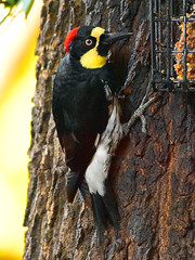 "Acorn-Woodpecker_01 (DonBantumPhotography.com) Tags: wildlife nature birds acornwoodpecker ""donbantumphotographycom"" ""donbantumcom"" ""nikon d7200"" ""afs nikkor 200500mm f56e ed vr"""