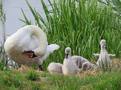 Shaping Up Nicely (mr_snipsnap) Tags: birds swans cygnets wildlife fauna nature