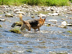 Burnsall 18.6.2017 (4) (bebopalieuday) Tags: yorkshiredales upperwharfedale burnsall riverwharfe dog alsatian germanshepherd northyorkshire