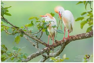 Cattle Egrets / Garcetas Bueyeras