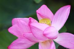 After rain (Teruhide Tomori) Tags: japon japan kyoto nature summer flower lotus 夏 京都 花 ハス 日本 東寺 教王護国寺 toji pond 雨 rain
