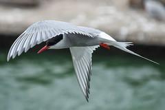 Artic Tern Preston Docks  2165  D210bob DSC_5080 (D210bob) Tags: artictern prestondocks d210bob dsc5080 2165 nikond7200 wildlife photographynikon bird 200500 zoom