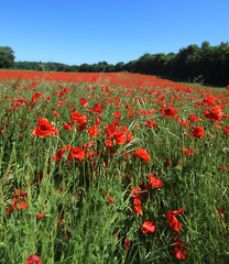 1S9A8326 (saundersfay) Tags: poppies eynsford kent