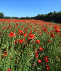 1S9A8326 (saundersfay) Tags: poppies eynsford kent