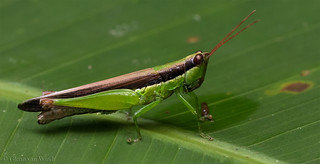 Rainforest grasshopper...