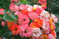 DSCF9245 (ewewlo) Tags: europe bulgaria balchik flower fujifilm x100