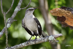 Northern Mockingbird (jt893x) Tags: 150600mm bird d500 jt893x mimuspolyglottos mockingbird nikon nikond500 northernmockingbird sigma sigma150600mmf563dgoshsms songbird specanimal