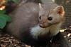 steenmarter anholt JN6A8851 (joankok) Tags: marter marten beechmarten martesfoina europe mammal zoogdier dier animal anholt steenmarter