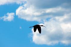 Glossy Ibis (Black Hound) Tags: sony a500 minolta bird edwinbforsythenwr glossyibis