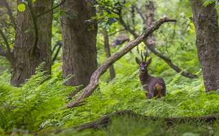 Roe Deer (1 of 1)