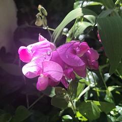 (Cheeseisboss) Tags: sweetpea pink flowers