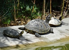 Proud turtles - fières tortues (Jeanne Menjoulet) Tags: proud turtles tortoise paris parcmontsouris tortues fier tortuedeau famille