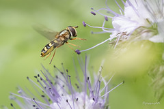 Hoverfly (Jongejan) Tags: hoverfly nature insect macro zweefvlieg