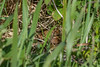Ayrmer Cove Adder (Matchman Devon) Tags: adder south hams devon ayrmer cove viper berus