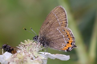 Black Hairstreak , Glapthorn cow pastures . A new species for me .