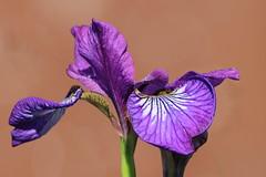 Iris versicolore (Marie-Helene Levesque) Tags: fleur amos abitibi iris irisversicolore mariehélène mariehelene