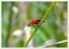 Pyrochroidae - Cardinal beetle (pete Thanks for 5 Million Views) Tags: hwcp bokeh butterfly canon he lumix macro moth she wickedweasel pyrochroidaecardinalbeetle colchester