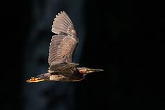 AsTheGreenHeronFlies (jmishefske) Tags: greenfield nikon d500 milwaukee pond 2017 bird lagoon westallis flight wisconsin heron july park fly bif county green