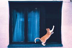 Bežo 3 @catsedition9 (Robert Krstevski) Tags: cat cats pet pets animal animals cute cuteness gato gatos kitten kittens kitties kitty catsedition9 robertkrstevski robertkrstevskiblogspotcom кошки кошка котка котки мачка мачки македонија balkan europe nikond3300 popular flicker flickr funny color photooftheday photography photograph photo photographer