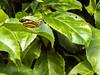São Mateus 2017 - ES (Fábio Canhim) Tags: borboleta na folha de maracujá no sítio bonomo são mateus es estado norte espírito santo cidade padre josé anchieta fabio canhim