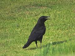 Panting Crow (Deepgreen2009) Tags: crow heat hot panting bird wildlife black absorption