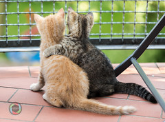 Buddies Forever! (Martin Deja) Tags: kitten kittens balcony sitting embracing hugging friendship outdoors sidebyside eachother little cute domesticcat animal pets small pet domesticanimals floor tiles grid bars fence photography mouth yellow brown grey gray snout black striped ear eye paw whiskers whisker tomcat feline tail