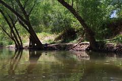 dead horse ranch state park, july 10 (EllenJo) Tags: pentaxk1 july 2017 ellenjo arizona verdevalley deadhorseranchstatepark cottonwoodarizona deadhorseranch statepark verderiver cottonwood summerinarizona az river riparian 86326