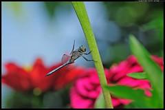 DSC_2159 -07-08-1- Orthetrum coerulescens maschio (r.zap) Tags: orthetrumcoerulescensmaschio rzap parcodelticino libellule