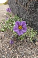 Solanum metarsium (Gabriel Terraz) Tags: salardetara chili solanaceae solanum