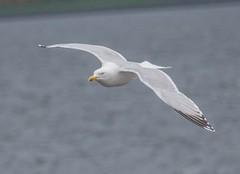 Herring Gull 3