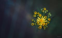 yellow peril (Simon[L]) Tags: yellow flowers dark ragwort yashicaml50mmf17 poison suns cluster