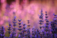 Lavender (Karsten Gieselmann) Tags: 40150mmf28 bokeh dof em5markii jahreszeiten lavendel licht lila mzuiko microfourthirds natur olympus pflanzen rosa schärfentiefe sommer sonnenuntergang strauch sträucher bush bushes kgiesel lavandula lavender light m43 mft nature pink purple seasons summer sunset violett