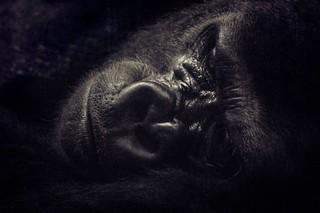 Repos d'un gorille