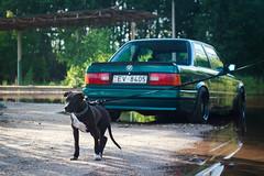 E30 and pitbull puppy (Sandra_Step) Tags: lagunengruen metallic e30 bmw green emerald hood bra lake daugavpils latvia pitbull puppy apbt dark brown dog mteh2