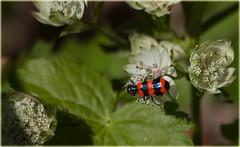 19. Juni 2017: Bienenkäfer (Gertraud-Magdalena) Tags: frühling juni garten garden giardino käfer bienenkäfer macromarvels
