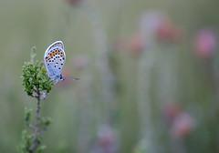 Bedding down for the night in heathland ((Ruud) Reddingius) Tags: blue blauwtje plebejus vlinder butterfly moorland heathland heather papillon