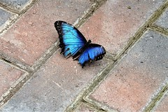 An exhausted Blue Morpho (Morpho peleides). (Lana Pahl / Country Star Photography) Tags: catchycolors colorsofflickr beautifulbutterflies butterflies