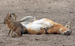 patagonian mara Hoenderdael BB2A8551 (j.a.kok) Tags: mara grotemara patagoniscehaas patagonianmara pampahaas mammal zoogdier dier animal hoenderdaell zuidamerika southamerica