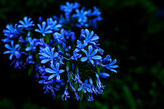 Agapanthus : アガパンサス (Dakiny) Tags: 2017 summer july japan kanagawa yokohama aoba ichigao outdoor nature field park plant tree flower flora agapanthus macro bokeh blue nikon d750 nikkor 50mm f18 afsnikkor50mmf18g nikonafsnikkor50mmf18g nikonclubit