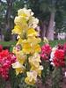 (Iggy Y) Tags: antirrhinum majus spring blo flowers yellow red white color flower green leaves velikazijevalica velika zijevalica snapdragon nature park plant day light