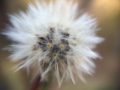 Blowball (Snakewinter) Tags: blowball flower nature art