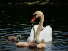 Swan family. Lunch is ready (STEHOUWER AND RECIO) Tags: swan family food zwaan eten swanlings bird mother swans white green aqua waterbird aquaticbird nederland netherlands holland dutch animals fauna flora leaves feeding photo photography capture image