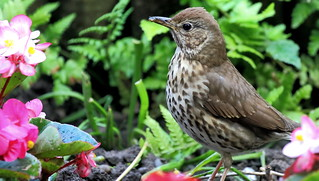 Song Thrush.....Pretty in pink
