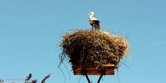 IMG_2017_06_02_3430-Bearbeitet (H.Spiegel) Tags: storch nest grammersdorf ostsee see holstein
