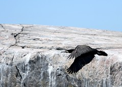 Phalacrocorax Carbo (kaius.artimo) Tags: phalacrocoraxcarbo greatcormorant flight paintedrock merimetso kirkkonummi