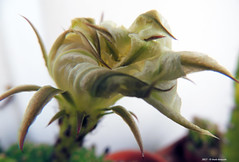 E la Bellezza sfiorisce... (Paolo Bonassin) Tags: flowers cactaceae cactacee cactus succulente echinopsis